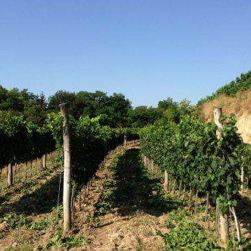 Unsere Weingärten im Kamptal
